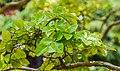 Lagerstroemia indica in Eastwoodhill Arboretum (2).jpg