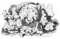 Laitue Batavia blonde Vilmorin-Andrieux 1883.png
