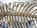 Lamantin Squelette int MHNL Glam 2016 B.JPG