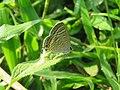 Lampides boeticus - Pea Blue at Aralam Wildlife sanctuary during Aralam butterfly survey 2020 (18).jpg