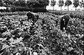 Landbouwer bekijkt aardappelplanten op eventuele schade door de grote regenval, Bestanddeelnr 930-9159.jpg