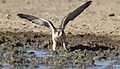 Lanner falcon, Falco biarmicus, at Kgalagadi Transfrontier Park, Northern Cape, South Africa (34447024301).jpg