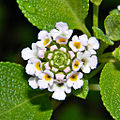 Lantana involucrata (Wild Sage) (6036690604) (2).jpg