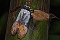 Lantern Bug (Penthicodes farinosa) (8085655989).jpg