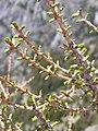 Larix lyallii springfoliage.jpg