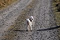 Larry the Lamb 2 (2472380765).jpg