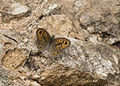 Lasiommata megera - Wall brown 02.jpg