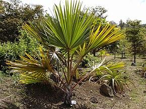 graine de palmier