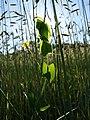 Lathyrus aphaca sl57.jpg