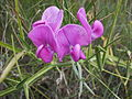 Lathyrus latifolius (pèsol bord).jpg