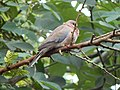 Laughing dove 1.jpg