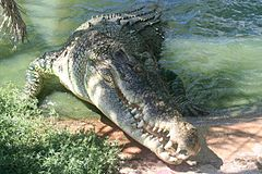 Laurie's crocodile in the garden.jpg