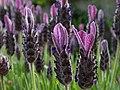 Lavender (47978942261).jpg