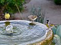 Lawrence's Goldfinches with a Lesser Goldfinch (34089272550).jpg