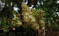 Lawsonia inermis Flowers.jpg