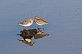 Least sandpiper, Calidris minutilla, at Alviso Marina County Park, Santa Clara, California, USA (30704134860).jpg