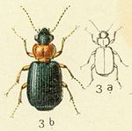 Lebia cyanocephala Reitter-1908 table29.jpg