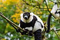 Lemur (26245222369).jpg