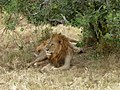 Leo. Lake Nakuru National Park - panoramio.jpg