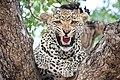 Leopard (31452662362).jpg