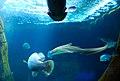 Leopard shark (2).jpg