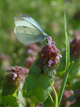 Lepidoptera 2005 spring 002.jpg