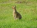 Lepus americanus - Blomidon Provincial Park 01.jpg