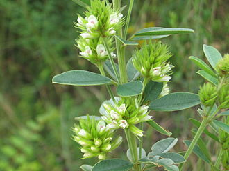 Lespedeza - Lespedeza capitata inflorescences and leaves