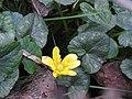Lesser Celandine (32976410056).jpg