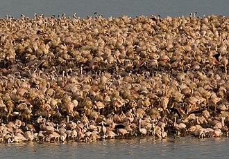 Kamfers Dam - Lesser flamingos on Kamfers Dam's artificial breeding island, 2006