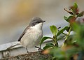Lesser Whitethroat by Sighmanb.jpg