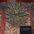 Leuchtenbergia principis20140104 079.jpg