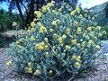 Leucospermum reflexum var. luteum bush.JPG