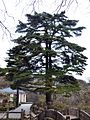 LianLi Pinus 20141109.jpg