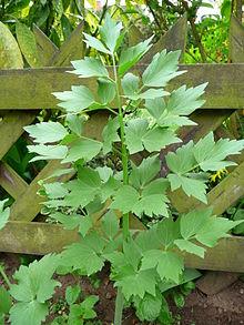 la ache feuilles plates aussi appellée Livèche