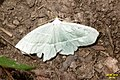 Light emerald (NH halfway to Rudka) (14657988144).jpg