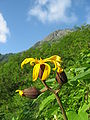 Ligularia dentata and Mt.Kitadake.jpg