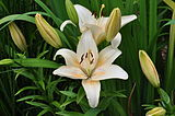 Lilium Country Star RBG.JPG