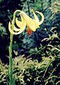Lilium rhodopeum1.jpg