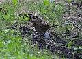 Lincoln's Sparrow (8002113657).jpg
