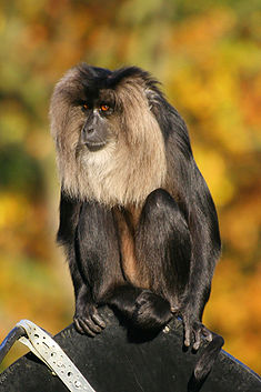 Lion-tailed Macaque.jpg