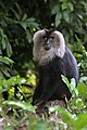 Lion Tailed Macaque (26248413253).jpg