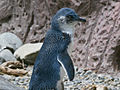 Little Penquin RWD2.jpg