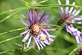 Little green spider on mauve daisy (3852905281).jpg