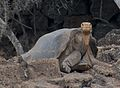 Lonesome George (4996395083).jpg