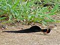 Long-tailed Paradise-Whydah (Vidua paradisea) and Cut-throat Finches (Amadina fasciata) (6046350546).jpg