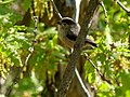 Long-tailed Tit (35641446635).jpg