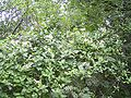LoniceraPericlymenum-plant-kl.jpg
