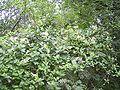 LoniceraPericlymenum-plant-kl.jpg