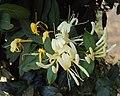 Lonicera japonica 17a.JPG